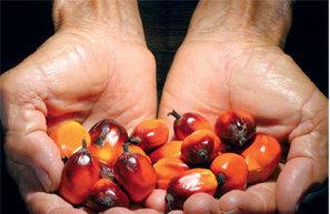 Nutrition et environnement : L'huile de palme, ange ou démon ? - Algerie Site | Alimentation, agriculture, bio | Scoop.it