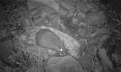 Rock rat rediscovered in central Australia | Australia and Oceania! E&A | Scoop.it