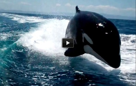 A Pod Of Killer Whales Chase A Speeding Boat. My Heart Is Still Racing From Watching This! | DiverSync | Scoop.it