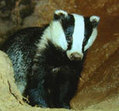 Vote for Britain's national species | Discover Wildlife | Wildlife and Environmental Conservation | Scoop.it