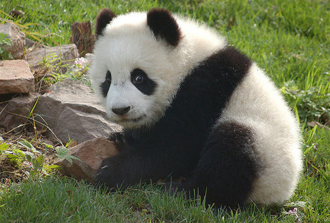 Here There Everywhere | Save the Pandas … Or Maybe Not? - News for Kids | China Current Events | Scoop.it