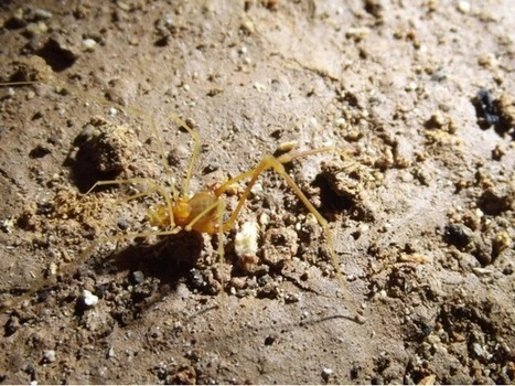 Découverte d'un nouvel opilion vivant dans les grottes au Brésil, la première espèce du genre à être aveugle   EntomoNews   Scoop.it