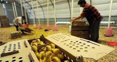 Après la grippe aviaire, le foie gras revient à petits pas | Agriculture en Dordogne | Scoop.it