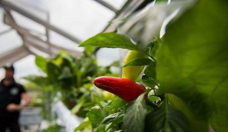 Usine à légumes: quand l'agriculture débarque en ville | Chimie verte et agroécologie | Scoop.it