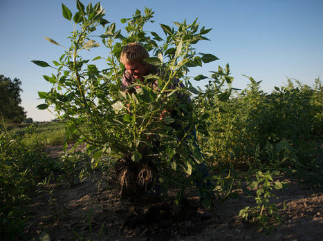 Invader Batters Rural America, Shrugging Off Herbicides | Sustain Our Earth | Scoop.it