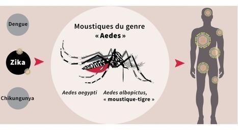 Tout comprendre au virus Zika en 4 minutes | EntomoScience | Scoop.it