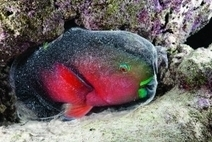 Species: 7 Parrotfish Facts | All about water, the oceans, environmental issues | Scoop.it