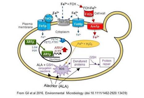 Alachlor Toxicity and Iron Homeostasis in Saccharomyces cerevisiae   iBB   Scoop.it