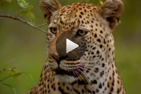 Le léopard, les secrets d'un serial lover - National Geographic | Ecology view | Scoop.it