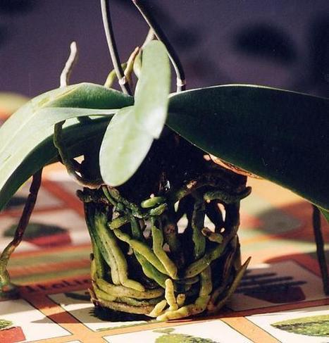 Fiche de culture des orchidées Phalaenopsis | actualité floral | Scoop.it