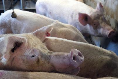 Prescrit-on trop d'antibiotiques aux animaux d'élevage? | Elevage | Scoop.it