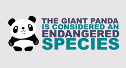 Giant Panda Facts (Video) - Socks On An Octopus | Creatively Awesome | Scoop.it