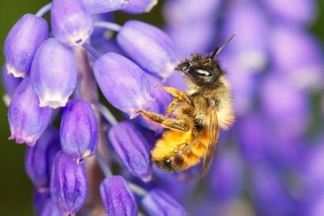 Un véritable «club med» pour abeilles ouvre à l'ULB | ALTERAPI | Scoop.it
