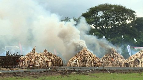 Video shows historic $172M ivory burn cover sky in smoke and ash | Wildlife Trafficking: Who Does it? Allows it? | Scoop.it