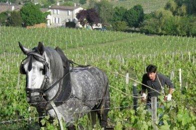 Un cheval dans les vignes   Agriculture en Gironde   Scoop.it