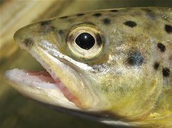 Researchers discover magnetic cells in the nose trout and its lateral line | Amazing Science | Scoop.it