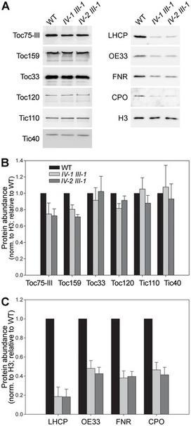 Evolutionary, Molecular and Genetic Analyses of Tic22 Homologues in Arabidopsis thaliana Chloroplasts | Plant Genomics | Scoop.it