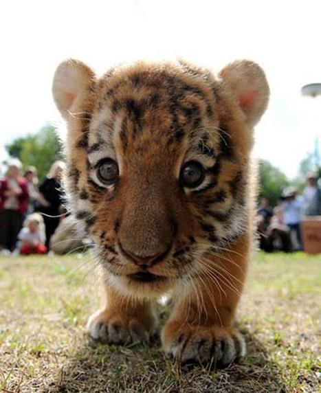 Twitter / UberFacts: Baby tigers were ranked among ... | alhafizworld | Scoop.it