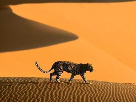 Leopard walking on african sand dunes | desert photography | Scoop.it