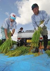 [Eng] Aucune substance radioactive détectée dans le riz à Chiba | The Mainichi Daily News | Japon : séisme, tsunami & conséquences | Scoop.it