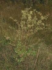 Apium graveolens - ficha informativa | APIO POR SALUD | Scoop.it