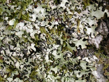A molecular perspective on generic concepts in the Hypotrachyna clade (Parmeliaceae, Ascomycota) | Lichen systematics | Scoop.it