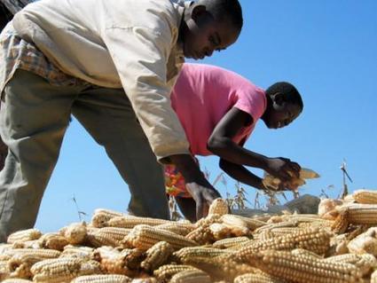 L'Afrique du Sud autorise la commercialisation d'une variété de maïs résistant à la sécheresse | Questions de développement ... | Scoop.it