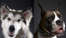 10 manly dog breeds for men (and women) | Breeds and Such | Scoop.it