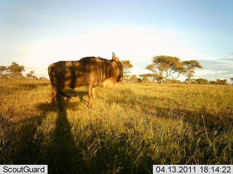 Les photos incroyables prises par 225 caméras automatiques du Serengeti | The Blog's Revue by OlivierSC | Scoop.it