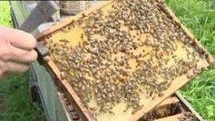 Production de miel en forte baisse en Alsace - Francetv info | Abeilles, intoxications et informations | Scoop.it