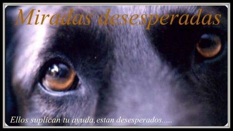 Miradas desesperadas....: Galgo abandonado con una herida en el ... | Pablo Galgo | Scoop.it