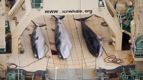 Japan rejects international court jurisidiction over whaling | NGOs in Human Rights, Peace and Development | Scoop.it