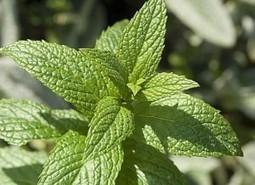 Huile essentielle de menthe poivrée : indispensable en cas de nausée | Huiles essentielles HE | Scoop.it