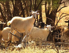 Year of the Goat - Landline - ABC | Agricultural Research | Scoop.it
