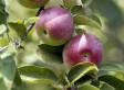 Apple Season 2012: Farmers Optimistic For Northeast Crop Harvest Despite ... - Huffington Post | The Barley Mow | Scoop.it
