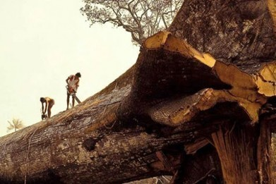 Loggers Accidentally Cut Down World's Oldest Tree in Amazon Forest | Indigenous | Scoop.it