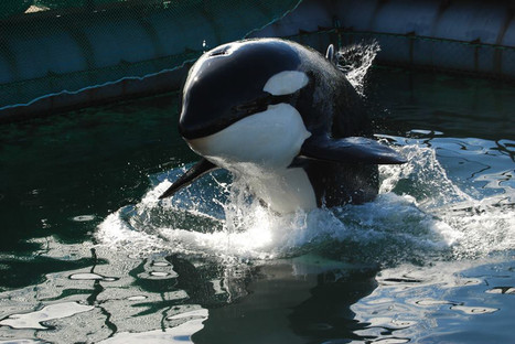 Confirmed: Orcas Will NOT Be on Display for 2014 Sochi Winter Olympics | All about water, the oceans, environmental issues | Scoop.it