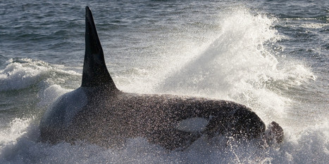 Orcas Hunt Seals By Listening: Study - Huffington Post Canada | Amocean OceanScoops | Scoop.it