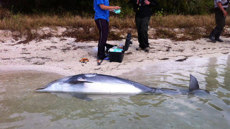 Federal wildlife officials investigate mysterious #DolphinDeaths - WPBF West Palm Beach ~ thin & #malnourished #pollution ? | Rescue our Ocean's & it's species from Man's Pollution! | Scoop.it