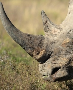 Suspected rhino poachers caught in Limpopo Province | What's Happening to Africa's Rhino? | Scoop.it