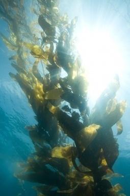 7 Must-Know Benefits Of Seaweed Kelp   eCellulitis   Healthy Food Tips & Tricks   Scoop.it