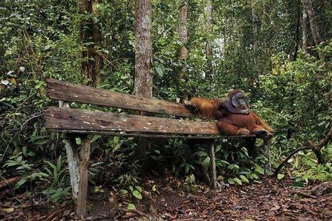 Un orangután descansa después de comer en el Parque Nacional Tanjung Puting de Borneo · National Geographic en español. · Visiones de la tierra | Antonio Galvez | Scoop.it