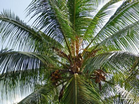 Learning to Make Coconut Oil in Guyana | Bicol Coconuts | Scoop.it