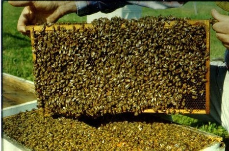 Beekeeping Industry Challenge EPA to Reevaluate Toxic Bee-killing Pesticide - Kansas City infoZine | Farming, Forests, Water & Fishing (No Petroleum Added) | Scoop.it