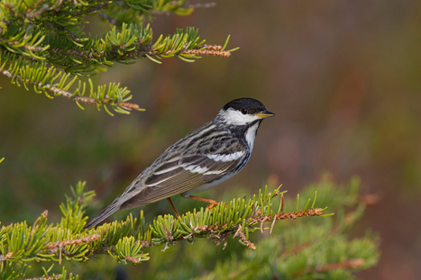 Amazing: Tiny Birds Fly Without Landing for Three Days | wildlife | Scoop.it
