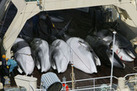 Not Science, but Slaughter: Japanese Whaling Tried in International Court (Op-Ed) - LiveScience.com | political sceptic | Scoop.it