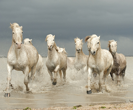 White Horses of The Camargue | Chummaa...therinjuppome! | Scoop.it