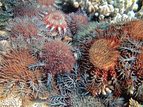 Scientists wage war on starfish devastating coral reefs - Calgary Herald   Ornamental Aquatics   Scoop.it