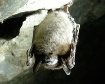 OUR POLLINATORS: Losing Millions of Bats to White Nose Syndrome | Biodiversity IS Life -- Conservation,Ecosystems,Wildlife,Rivers,Water,Forests | Scoop.it