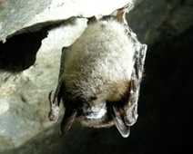 OUR POLLINATORS: Losing Millions of Bats to White Nose Syndrome | Biodiversity IS Life  – #Conservation #Ecosystems #Wildlife #Rivers #Forests #Environment | Scoop.it